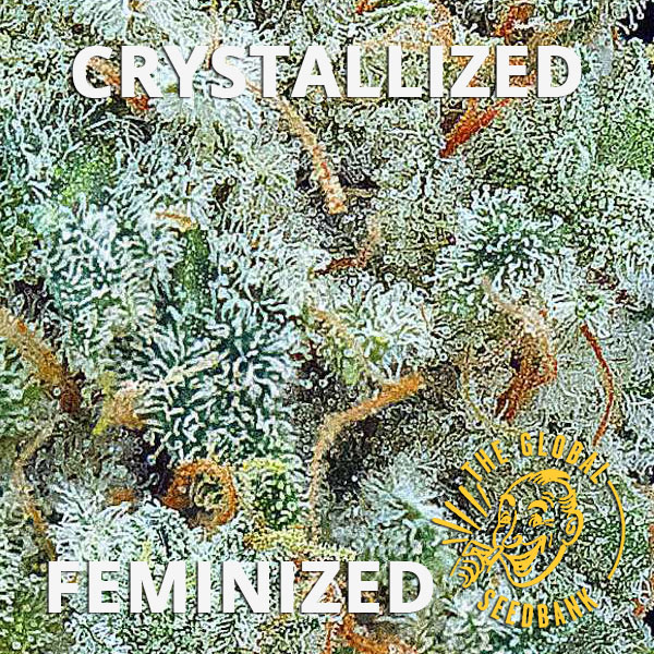 Crystallized Female Cannabis Seeds