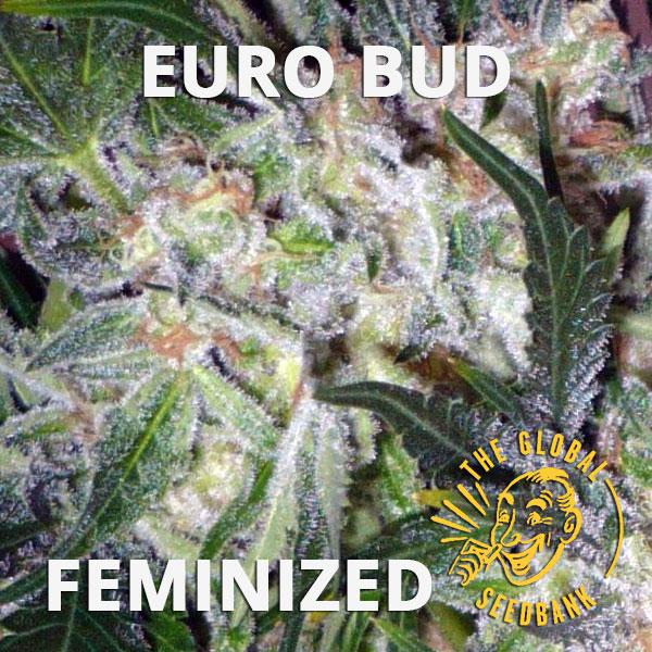 Euro Bud feminized seeds