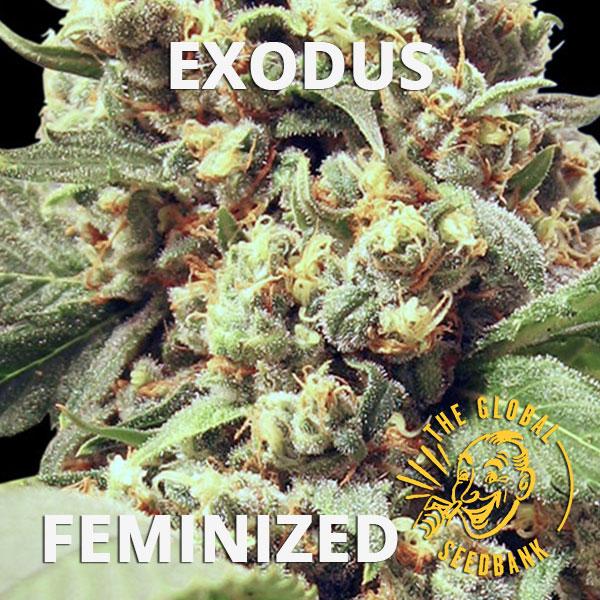 Exodus feminized cannabis seeds