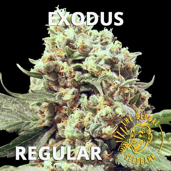 Exodus regular cannabis seeds by the amsterdam seedshop & global seedbank