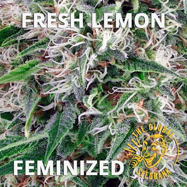 Fresh Lemon feminized cannabis seeds