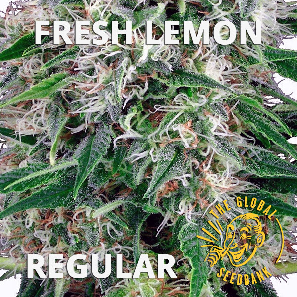 Fresh Lemon regular cannabis seeds by the amsterdam seedshop & global seedbank