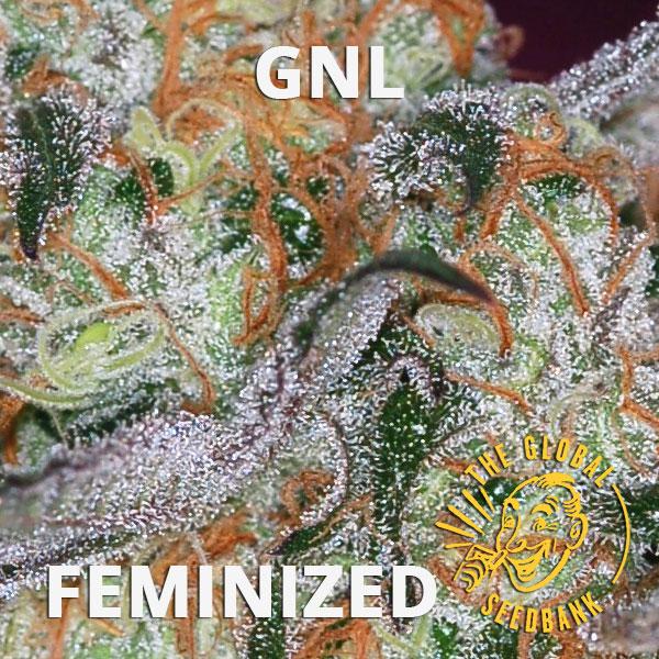 GNL special feminized cannabis seeds