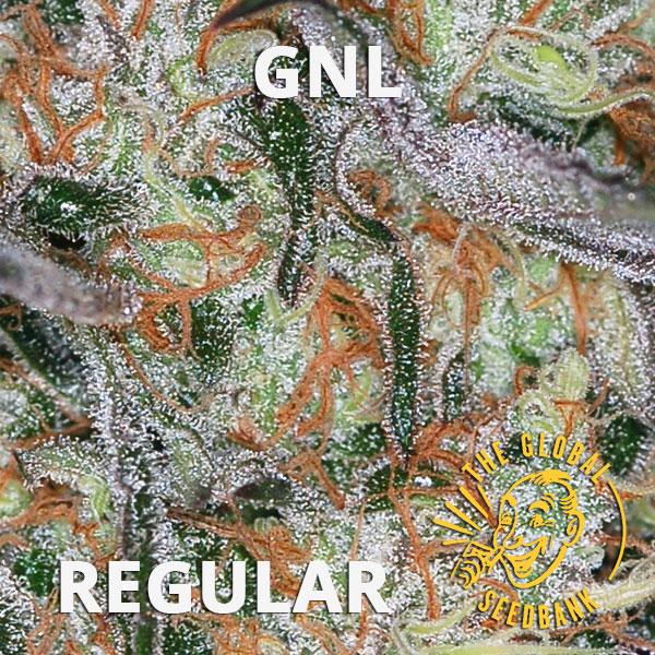 GNL Special regular cannabis seeds by the amsterdam seedshop & global seedbank