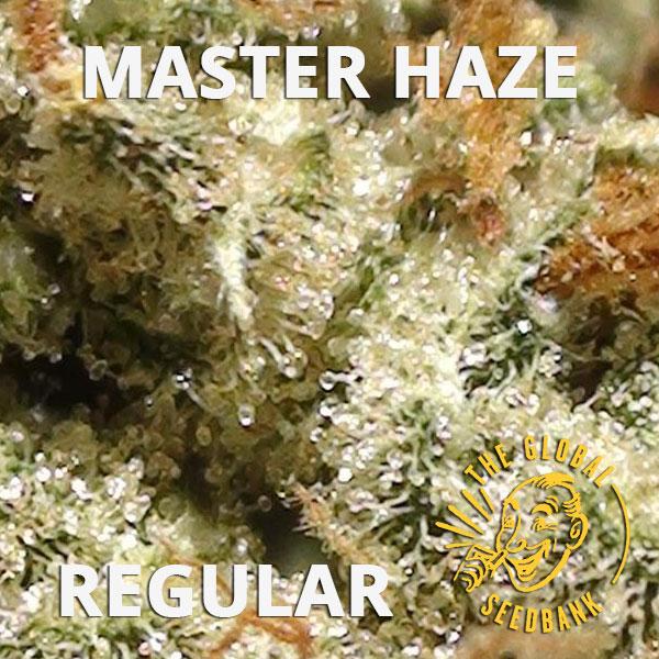 Master Haze regular cannabis seeds by the amsterdam seedshop & global seedbank