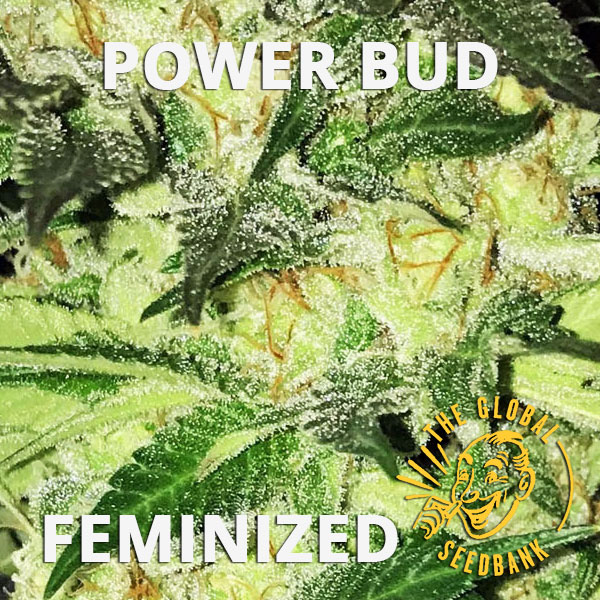 Power Bud feminized cannabis seeds