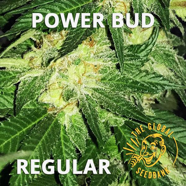 Power Bud regular cannabis seeds by the amsterdam seedshop & global seedbank
