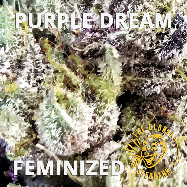 Purple Dream feminized cannabis seeds