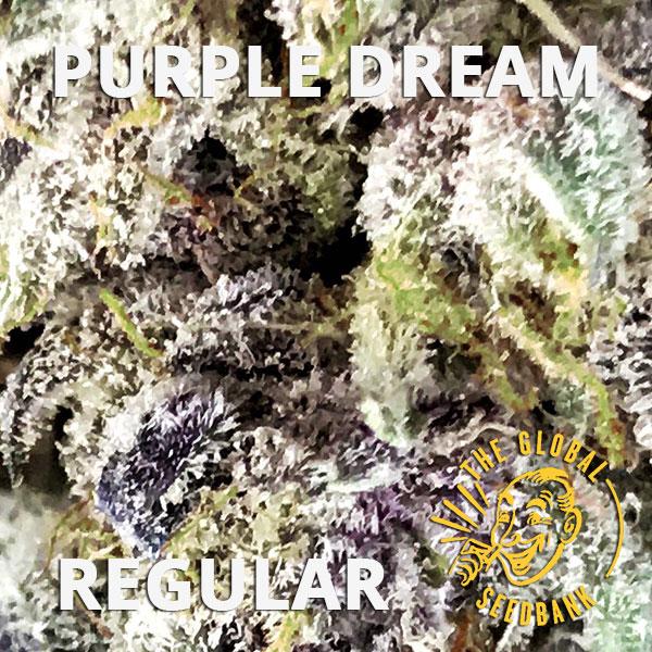 Purple Dream regular cannabis seeds by the amsterdam seedshop & global seedbank