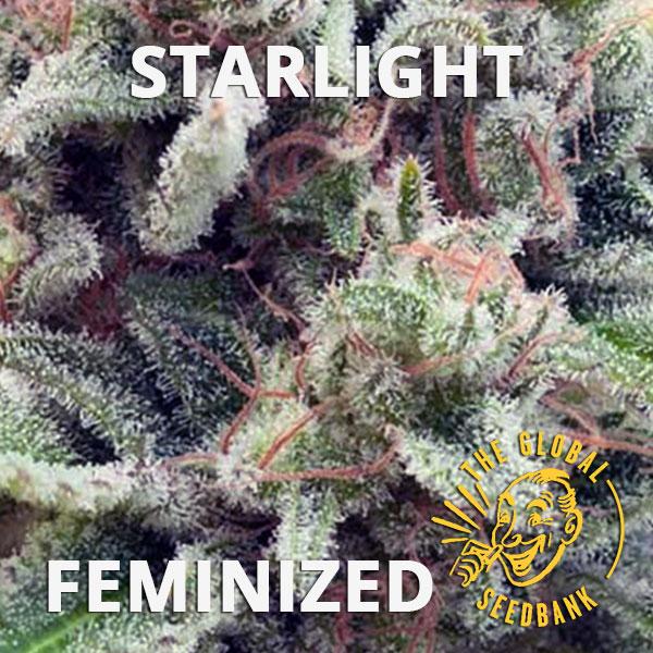 Starlight feminized seeds