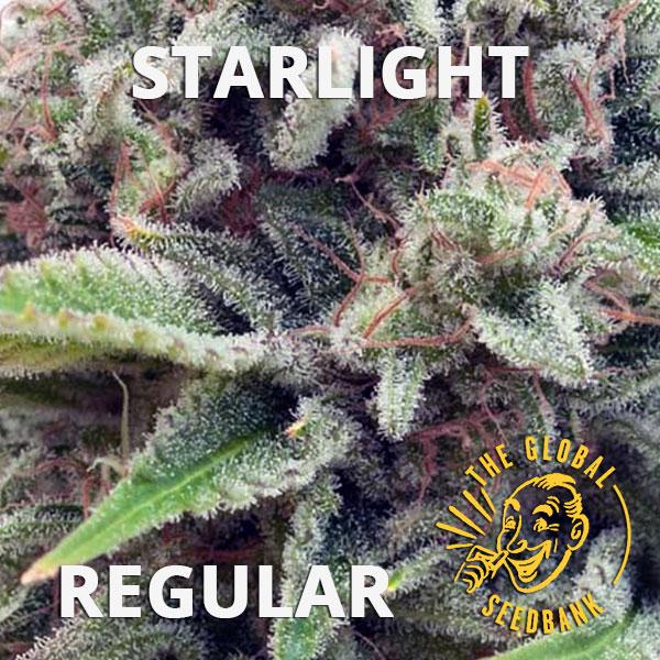 Starlight regular cannabis seeds by the amsterdam seedshop & global seedbank