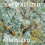 Crystallized Female Seeds